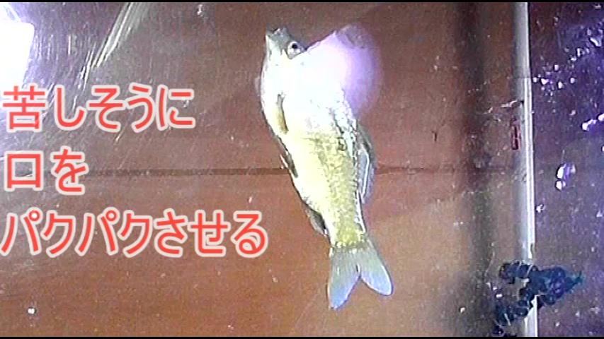 普通の女性がザリガニ・ゴキブリ・魚を踏む サンプル画像11