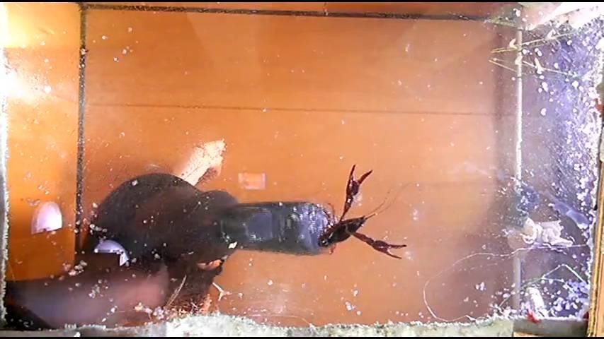 ニューフェイス・ミサト様のハイヒールがニシキゴイ・ザリガニ・ゴキブリを踏み潰す! サンプル画像12
