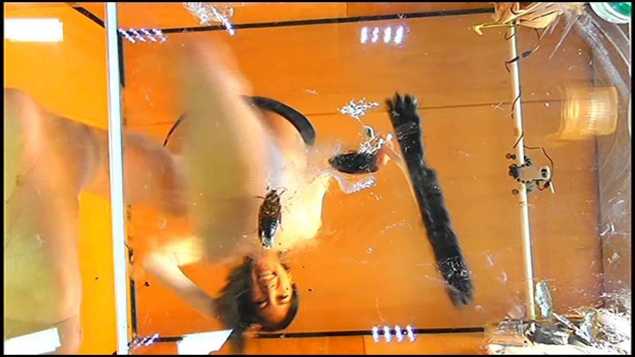 黒髪女性が生ストッキングで巨大ゴキブリを踏み潰す!!-中編- サンプル画像04
